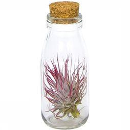 Plante Tillandsia In Fles Met Kurk Small