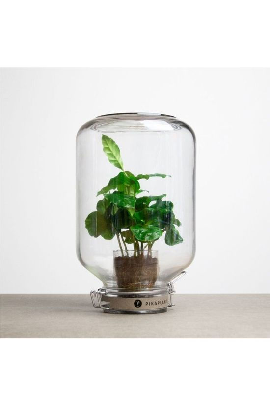 Pikaplant Plante Jar Coffea Pas de couleur / Transparent