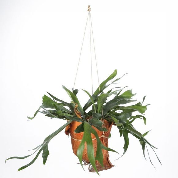 Bluet Plante Staghorn fern Hp Pas de couleur